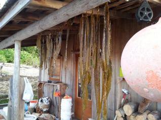 Drying Kelp